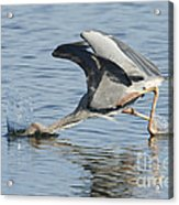 Great Blue Heron Fishing Acrylic Print
