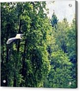 Great Blue Heron Flying Past The Trees Above Trojan Pond 2 Acrylic Print