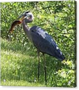 Great Blue Heron Grabs A Meal Acrylic Print