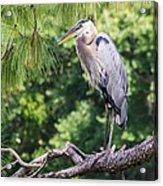 Great Blue Heron I Acrylic Print