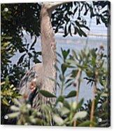 Great Blue Heron II Acrylic Print