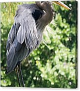 Great Blue Heron IIi Acrylic Print