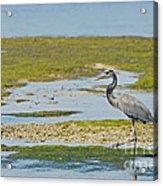 Great Blue Heron In Florida Acrylic Print