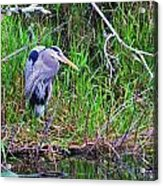 Great Blue Heron In Nature Acrylic Print