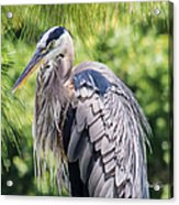 Great Blue Heron Iv Acrylic Print