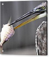 Great Blue Heron - Just Fred Acrylic Print