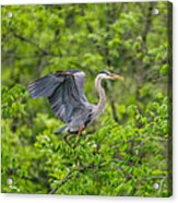 Great Blue Heron Landing Acrylic Print