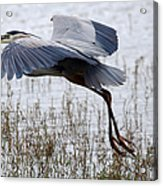Great Blue Heron Landing Series 3 Acrylic Print