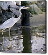 Great Blue Heron - Mealtime Acrylic Print