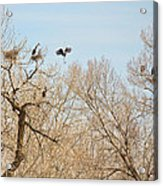 Great Blue Heron Nest Building 1 Acrylic Print