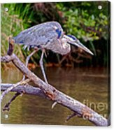 Great Blue Heron Oak Creek Canyon Sedona Arizona Acrylic Print
