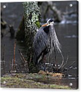 Great Blue Heron On The Clinch River Acrylic Print