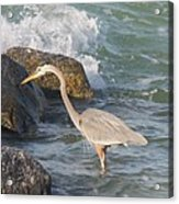 Great Blue Heron On The Prey Acrylic Print