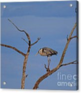 Great Blue Heron Perched On Branch Acrylic Print