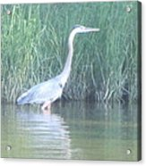 Great Blue Heron Reflecting Acrylic Print