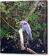 Great Blue Heron Resting Acrylic Print