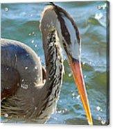 Great Blue Heron Splish Splash Acrylic Print