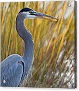 Great Blue Heron Square Image Acrylic Print