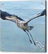 Great Blue Heron Take Off Acrylic Print
