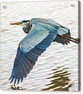 Great Blue Heron Taking Flight Acrylic Print