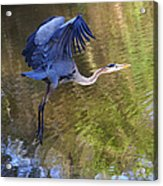 Great Blue Heron Taking Off Acrylic Print