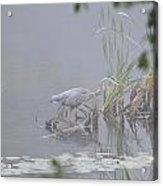 Great Blue Heron Acrylic Print