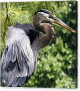 Great Blue Heron Vi Acrylic Print