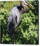 Great Blue Heron Vii Acrylic Print