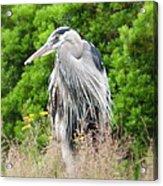 Great Blue Heron Watching And Waiting Acrylic Print