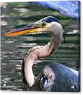 Great Blue Heron Whiskers Acrylic Print