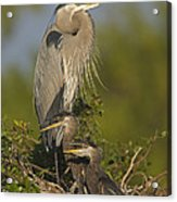 Great Blue Heron With Chicks Florida Acrylic Print
