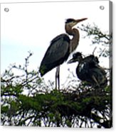 Great Blue Heron With Fledglings II Acrylic Print