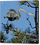 Great Blue Heron With Nest Material Acrylic Print