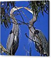 Great Blue Herons Acrylic Print