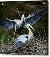 Great Blue Herons Nesting Acrylic Print