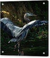 Great Blue Herron Acrylic Print
