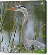 Great Blue In The Reeds Acrylic Print