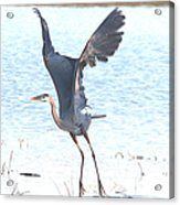 Great Blue Lift Off Series 1 Acrylic Print