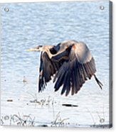 Great Blue Lift Off Series 2 Acrylic Print