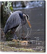 Great Blue On The Clinch River II Acrylic Print