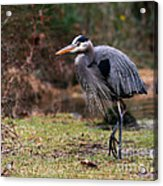 Great Blue On The Clinch River IIi Acrylic Print