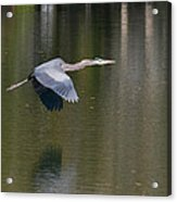 Great Blue Over Green Acrylic Print