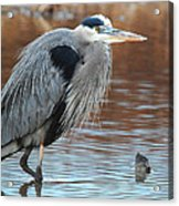 Great Blue Acrylic Print by Thomas Pettengill