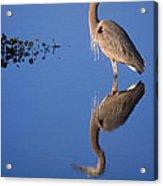 Great Blue Wading Acrylic Print