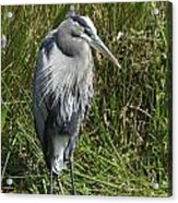 Great Blue Waiting For Prey Acrylic Print