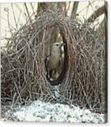 Great Bowerbird Male In Bower Australia Acrylic Print
