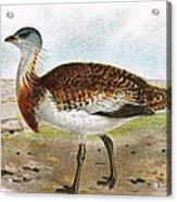 Great Bustard Acrylic Print