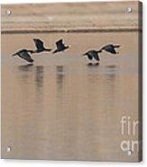Great Cormorant In Flight Acrylic Print