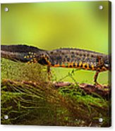 Great Crested Newt Or Water Dragon Acrylic Print