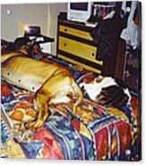 Great Dane And Cat Acrylic Print